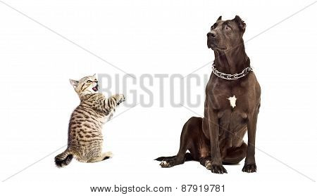 Dog breed Staffordshire Terrier and frisky kitten Scottish Straight