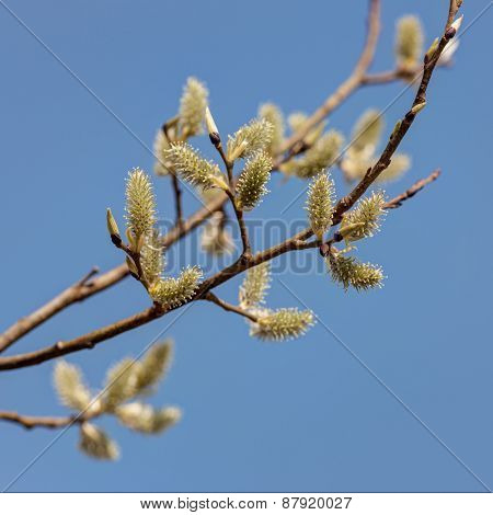 Spring Willow Branches