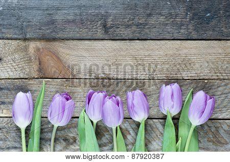Beautiful violet Tulips