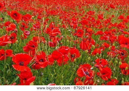 Green field with poppy flowers.