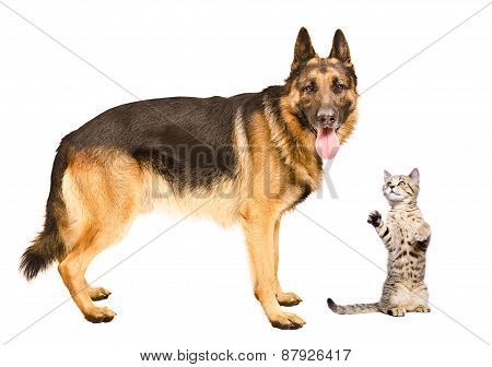 German Shepherd dog and frisky cat Scottish Straight