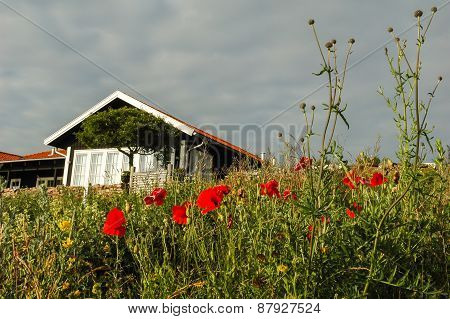 Red Poppies With Cottage On Background