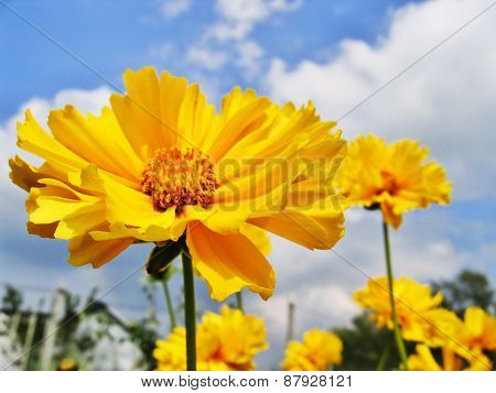 Yellow Flowers In Sammer Garden