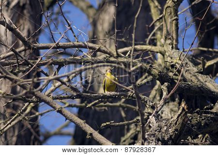Little Yellow Bird Singing In The Bushes