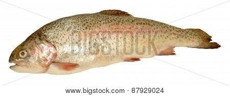 Raw Rainbow Trout Fish