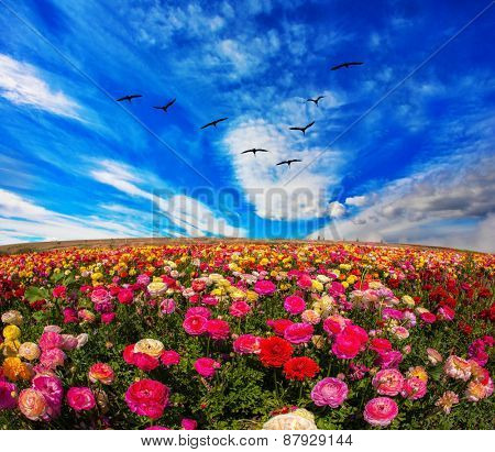 Flowers grow stripes of different colors - red, pink, maroon and yellow. Flies over a field flock of cranes