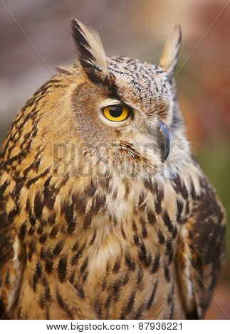 Owl With Yellow Eyes And Warm Tone Background In Spain