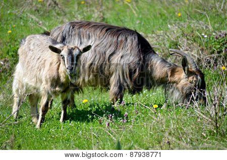 Two Goats Grazing Grass Outdoors