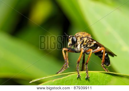 Asilidae Robber Fly In Close Up