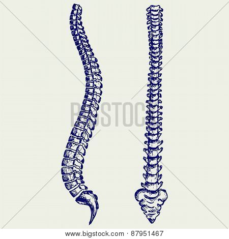 Human Anatomy Spine