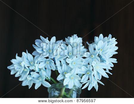 Puschkinia Striped Flower