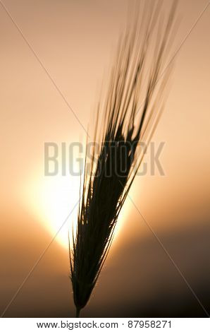 Barley In Silhouette