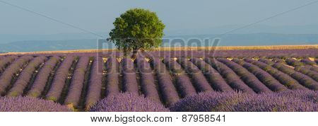 Lavender Field Panorama