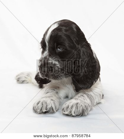 English Cocker Spaniel Puppy