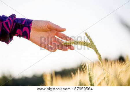 Close Up Woman Hand Holding Wheat Plant