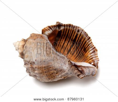 Empty Shell From Rapana Venosa