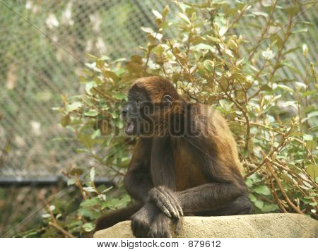 Monkey With An Open Mouth