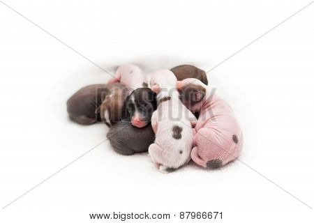 Newborn puppies Chinese Crested dog on a white background