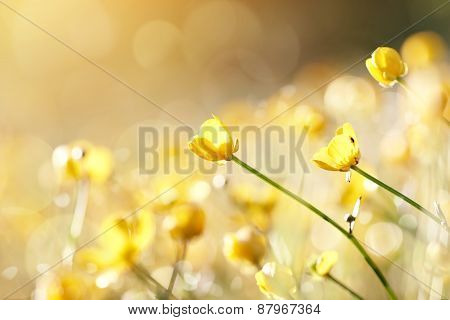 Yellow Flowers Of A Buttercup