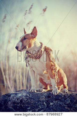 Attentive Dog Of Breed A Bull Terrier In A Checkered Scarf