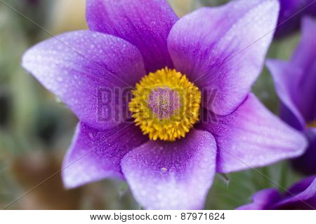 Macro Of A Violet Pasque Flower