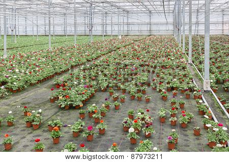 Greenhouse With Cultivation Of Colorful Flower Buttercups