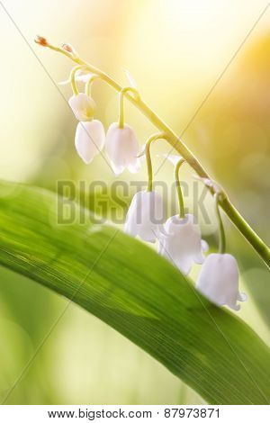 The White Flowers Of A Forest Lily Of The Valley