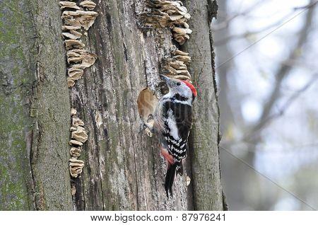 White-backed woodpecker,male.