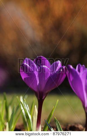 Crocus Flower In Garden Spring Feeling