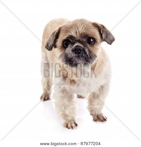 Decorative Amusing Of Breed Of A Shih-tzu