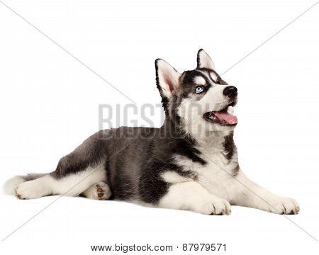 Siberian Husky Puppy on White