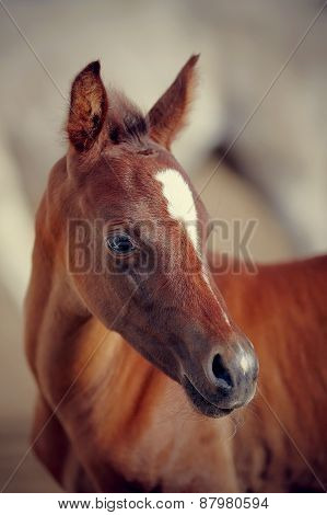 Portrait Of A Foal Of A Sports Horse.