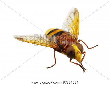 Horsefly isolated on white