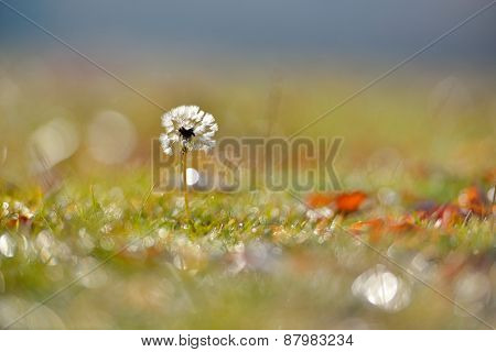 dandelion on field in autumn