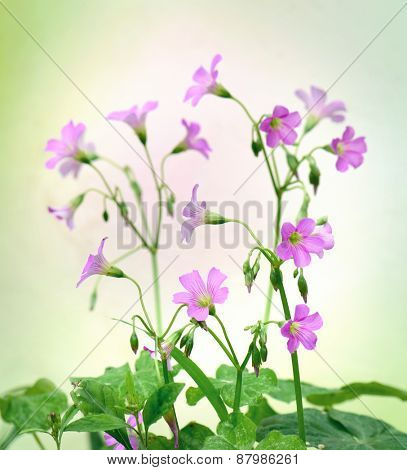 Pretty pink oxalis with green leaves in background