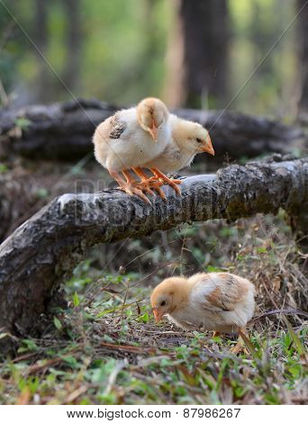 Young chickens i