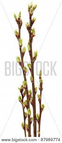 Spring branch of Tree isolated on  white background.