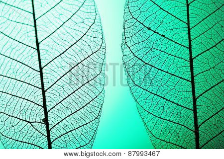 Skeleton leaves on green background, close up