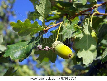 Acorn On Oak Branch