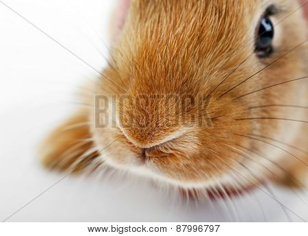 Portrait of red rabbit, closeup