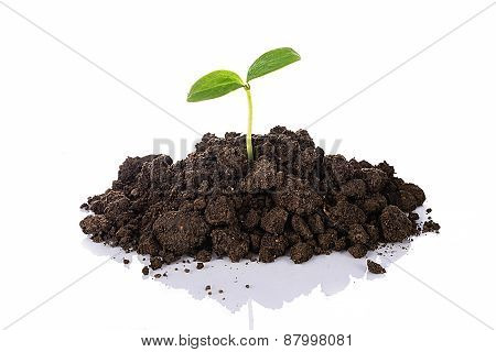 Young Seedling Growing In A Soil With Reflection , Isolated On White Background