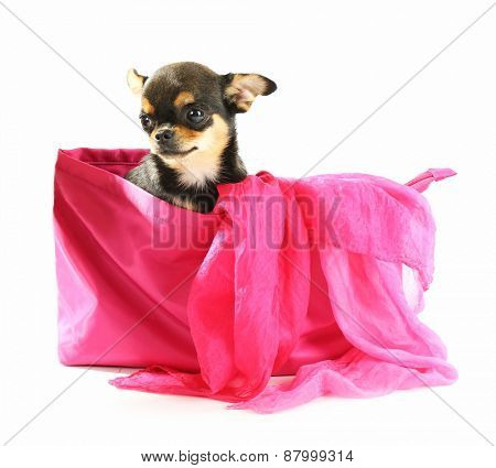 Cute chihuahua puppy sitting in female color bag isolated on white