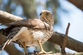 foto of small-hawk  - A cooper - JPG
