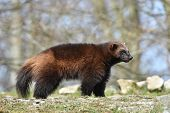 stock photo of wolverine  - wolverine standing in the sun its natural habitat - JPG