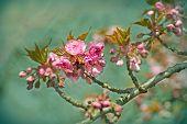 stock photo of cherries  - Beautiful flowering - JPG