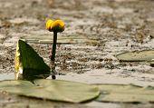 picture of water lilies  - Polandsummer - JPG