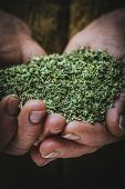 image of oregano  - fragrant oregano grown and dried in the hands of a peasant - JPG