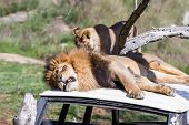 foto of annoying  - Adult male lion laying on top of a car getting annoyed by a cub - JPG