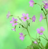 stock photo of creeping  - creeping oxalis for background or other purpose use - JPG