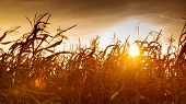 picture of corn stalk  - Dry corn field at the beautiful yellow sunset - JPG